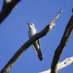 Heteroscenes pallidus (Pallid Cuckoo) at Illilanga & Baroona - 8 Nov 2009 by Illilanga