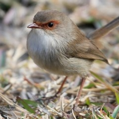 Malurus cyaneus (Superb Fairy-wren) at One Track For All - 11 Jul 2017 by Charles Dove