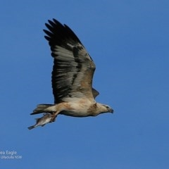 Haliaeetus leucogaster (White-bellied Sea-eagle) at Coomee Nulunga Cultural Walking Track - 14 Jul 2017 by Charles Dove