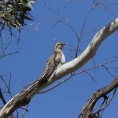 Cacomantis pallidus (Pallid Cuckoo) at Michelago, NSW - 25 Sep 2017 by Illilanga