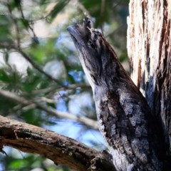 Podargus strigoides (Tawny Frogmouth) at Ulladulla - Millards Creek - 6 Jul 2017 by Charles Dove