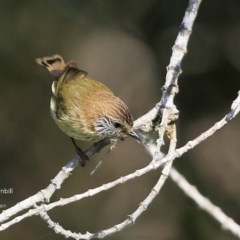 Acanthiza lineata (Striated Thornbill) at Undefined - 3 Jul 2017 by Charles Dove