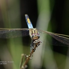 Orthetrum caledonicum (Blue Skimmer) at Wairo Beach and Dolphin Point - 11 Jan 2017 by Charles Dove