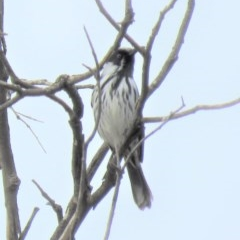 Phylidonyris niger X novaehollandiae (Hybrid) (White-cheeked X New Holland Honeyeater (Hybrid)) at Jerrabomberra Wetlands - 4 Jun 2018 by KumikoCallaway