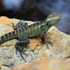 Intellagama lesueurii howittii (Gippsland Water Dragon) at Ulladulla - Millards Creek - 1 Jan 2017 by Charles Dove