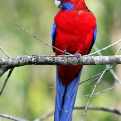 Platycercus elegans (Crimson Rosella) at Garrad Reserve Walking Track - 9 Feb 2017 by Charles Dove