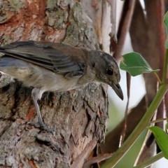 Colluricincla harmonica (Grey Shrike-thrush) at Wairo Beach and Dolphin Point - 12 Feb 2017 by Charles Dove