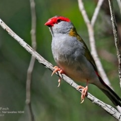 Neochmia temporalis (Red-browed Finch) at Garrad Reserve Walking Track - 13 Feb 2017 by Charles Dove