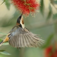 Acanthorhynchus tenuirostris (Eastern Spinebill) at Jervis Bay, JBT - 25 May 2014 by Leo
