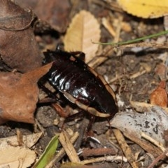 Drymaplaneta communis (Eastern Wood Runner) at Higgins, ACT - 5 Jun 2018 by Alison Milton