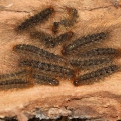 Leptocneria reducta (White cedar moth) at Higgins, ACT - 5 Jun 2018 by AlisonMilton