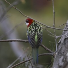 Platycercus eximius (Eastern Rosella) at Higgins, ACT - 3 Jun 2018 by Alison Milton
