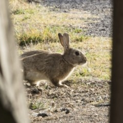 Oryctolagus cuniculus (European Rabbit) at Jerrabomberra Wetlands - 24 May 2018 by Alison Milton
