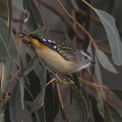 Pardalotus punctatus (Spotted Pardalote) at Jerrabomberra Wetlands - 25 May 2018 by Alison Milton