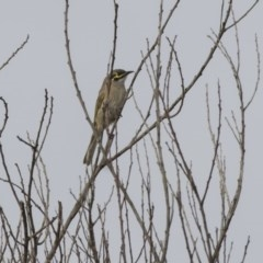Caligavis chrysops (Yellow-faced Honeyeater) at Jerrabomberra Wetlands - 25 May 2018 by Alison Milton