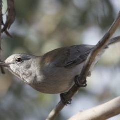 Colluricincla harmonica (Grey Shrike-thrush) at Jerrabomberra Wetlands - 25 May 2018 by Alison Milton
