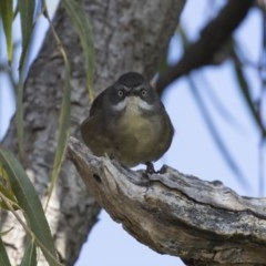 Sericornis frontalis (White-browed Scrubwren) at Jerrabomberra Wetlands - 25 May 2018 by Alison Milton