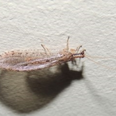 Hemerobiidae sp. (family) (Unidentified brown lacewing) at Conder, ACT - 10 Mar 2015 by michaelb