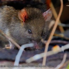 Rattus rattus (Black Rat) at One Track For All - 10 Dec 2017 by Charles Dove
