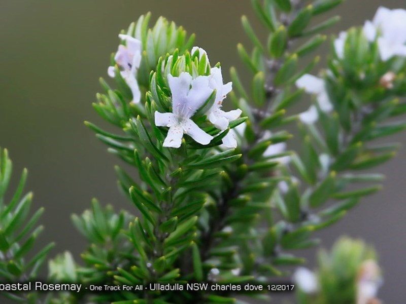 Westringia fruticosa at One Track For All - 11 Dec 2017