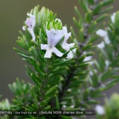 Westringia fruticosa (Native Rosemary) at One Track For All - 10 Dec 2017 by Charles Dove