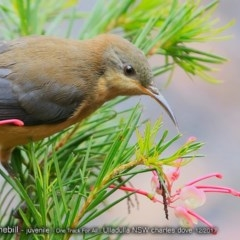 Acanthorhynchus tenuirostris (Eastern Spinebill) at One Track For All - 10 Dec 2017 by Charles Dove