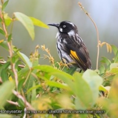 Phylidonyris novaehollandiae (New Holland Honeyeater) at One Track For All - 10 Dec 2017 by Charles Dove
