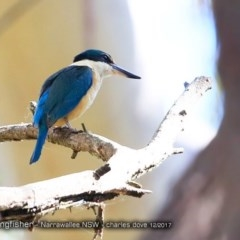 Todiramphus sanctus (Sacred Kingfisher) at Garrad Reserve Walking Track - 5 Dec 2017 by Charles Dove