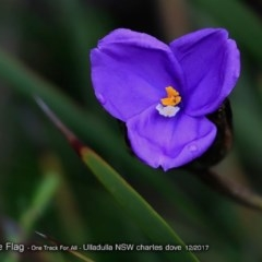 Patersonia sp. at One Track For All - 10 Dec 2017 by Charles Dove