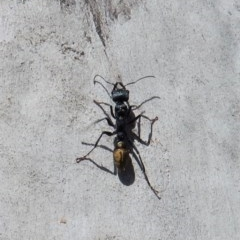 Myrmecia piliventris (Golden tail bull ant) at Mount Painter - 5 Mar 2018 by CathB