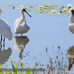 Platalea regia (Royal Spoonbill) at Wairo Beach and Dolphin Point - 3 Dec 2017 by Charles Dove