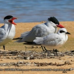 Hydroprogne caspia (Caspian Tern) at Jervis Bay National Park - 29 Aug 2017 by Charles Dove