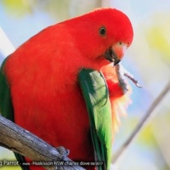 Alisterus scapularis (Australian King-parrot) at Undefined - 17 Aug 2017 by Charles Dove