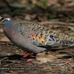 Phaps chalcoptera (Common Bronzewing) at Wirreecoo Trail - 19 Aug 2017 by Charles Dove
