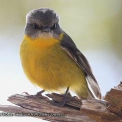 Eopsaltria australis (Eastern Yellow Robin) at Wirreecoo Trail - 15 Aug 2017 by Charles Dove