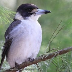 Cracticus torquatus (Grey Butcherbird) at Wirreecoo Trail - 15 Aug 2017 by Charles Dove