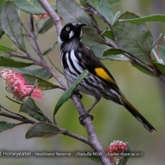 Phylidonyris novaehollandiae (New Holland Honeyeater) at South Pacific Heathland Reserve - 13 Aug 2017 by Charles Dove
