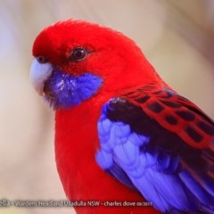 Platycercus elegans (Crimson Rosella) at Coomee Nulunga Cultural Walking Track - 9 Aug 2017 by Charles Dove