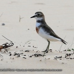 Charadrius bicinctus (Double-banded Plover) at Wairo Beach and Dolphin Point - 8 Aug 2017 by Charles Dove