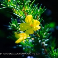 Hibbertia sp. (Guinea Flowe) at South Pacific Heathland Reserve - 7 Aug 2017 by Charles Dove