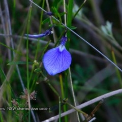 Hybanthus vernonii subsp. vernonii (Erect Violet) at Wairo Beach and Dolphin Point - 7 Aug 2017 by CharlesDove