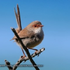 Malurus cyaneus (Superb Fairy-wren) at Undefined - 11 Aug 2017 by Charles Dove
