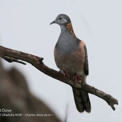 Geopelia humeralis (Bar-shouldered Dove) at Coomee Nulunga Cultural Walking Track - 3 Aug 2017 by Charles Dove