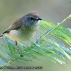 Gerygone mouki (Brown Gerygone) at Undefined - 2 Aug 2017 by Charles Dove