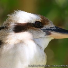 Dacelo novaeguineae (Laughing Kookaburra) at Undefined - 3 Aug 2017 by Charles Dove