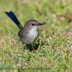 Malurus cyaneus (Superb Fairy-wren) at Undefined - 31 Jul 2017 by Charles Dove