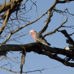 Eolophus roseicapillus (Galah) at Illilanga & Baroona - 22 Aug 2011 by Illilanga