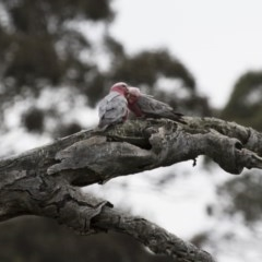 Eolophus roseicapillus (Galah) at Illilanga & Baroona - 10 Oct 2015 by Illilanga