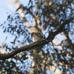 Petroica boodang (Scarlet Robin) at Illilanga & Baroona - 22 Aug 2011 by Illilanga