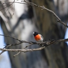 Petroica boodang (Scarlet Robin) at Illilanga & Baroona - 13 Apr 2012 by Illilanga